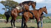 Cлучка лошадей
