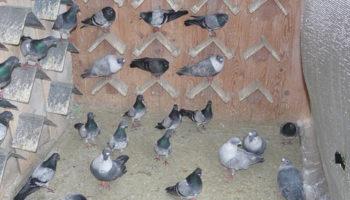 Cодержание голубей декоративных пород