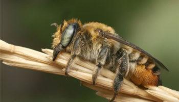 Дикие пчелы
