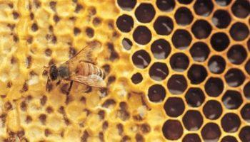 Городские пчелы строят свои гнезда из пластика