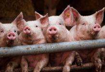 Грип у свиней
