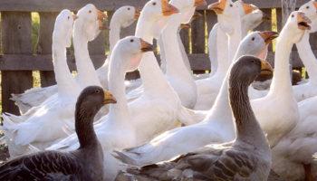 Характеристика пород гусей