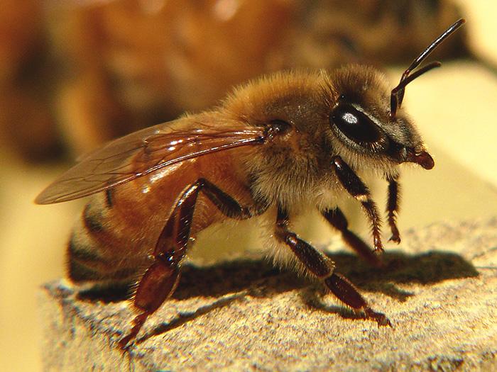 Породы пчел итальянская пчела