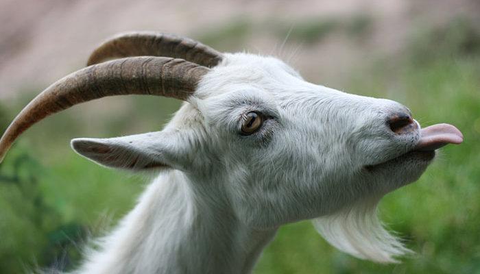 Как держать козу без выпаса