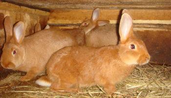 Как откормить кролика на мясо в домашних условиях
