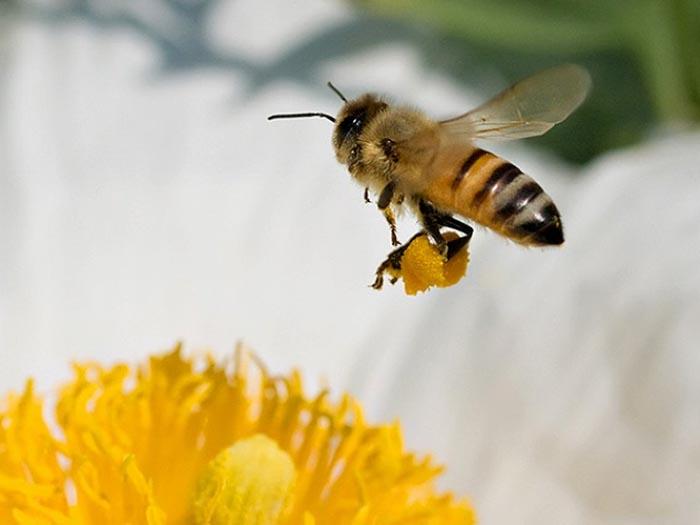Как пчелы дают мед