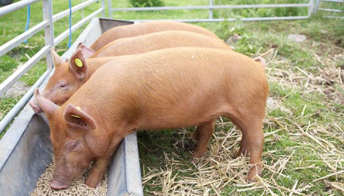Как подобрать правильный рацион кормления свиньям