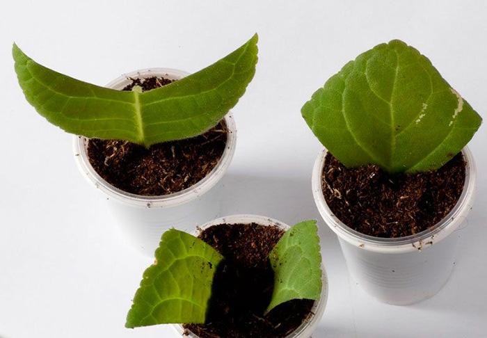 Как размножить листовыми пластинами
