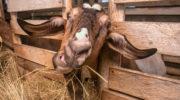 Как ухаживать за козой