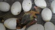 Как вывести самостоятельно гусей в домашних условиях при помощи инкубатора