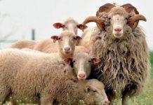 Конституция и экстерьер овец