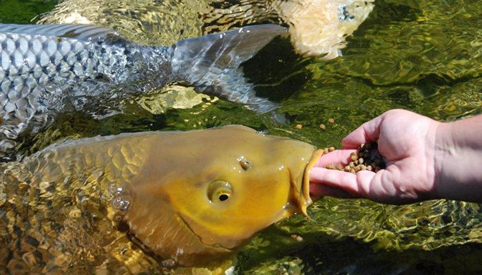 Кормление рыбы искусственными кормами