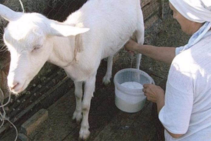 Козочка стала давать молоко с кровью