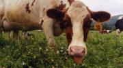Лечение работы ЖКТ у коров