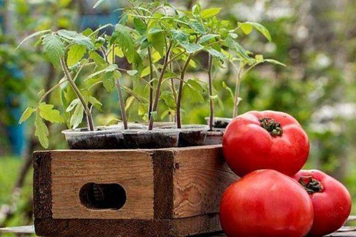 Май – лучшее время для высадки рассады помидоров в открытый грунт