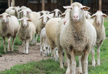 Методы разведения овец