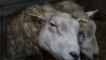 На предприятии в Оренбургском районе обманывали животноводов