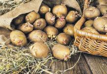 О сроках посадки картофеля весной 2019 года