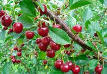 Обработка вишни весной от болезней и вредителей
