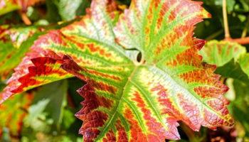 Почему краснеют листья на винограде