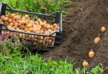 Почему в Китае не окучивают картошку