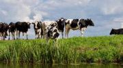 Поголовье коров в РФ в I квартале 2019 года незначительно снизилось