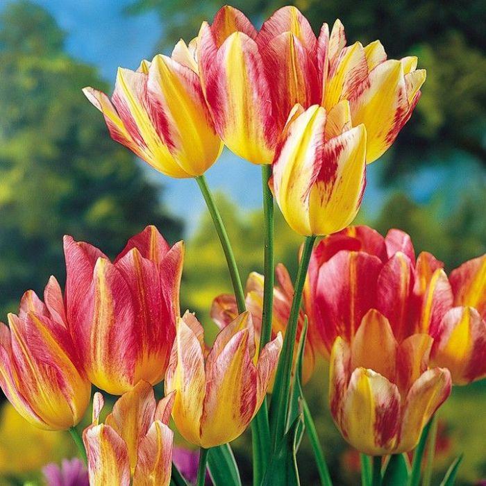 Поистине один самых дорогих тюльпанов в мире