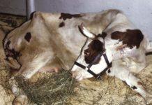 Послеродовые парезы у коров