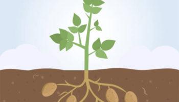 Методы посадки картофеля