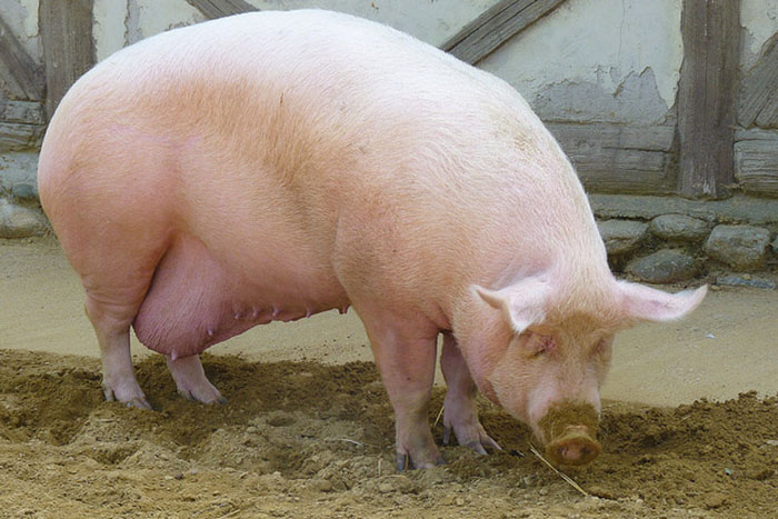 Рацион беременной свиньи