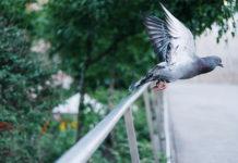Разрыв связок, отмирание пальцев ног и опухоль крыльев у спортивных голубей