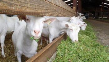 Разведение, содержание, уход за козами