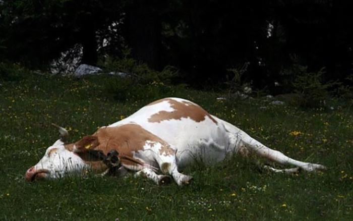 Симптомы диареи у коров