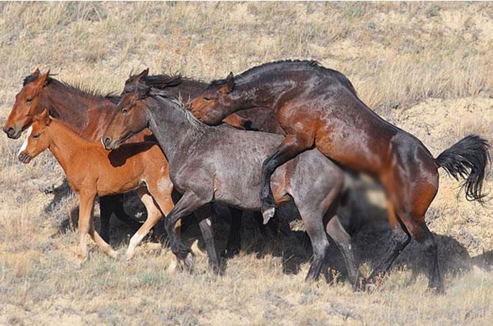 Случка лошадей в табуне