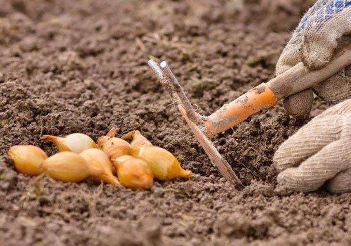 получение лука севка