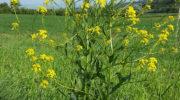 Свербига – это не сорняк, это заменитель редиски!