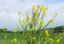 Свербига – это не сорняк, это заменитель редиски