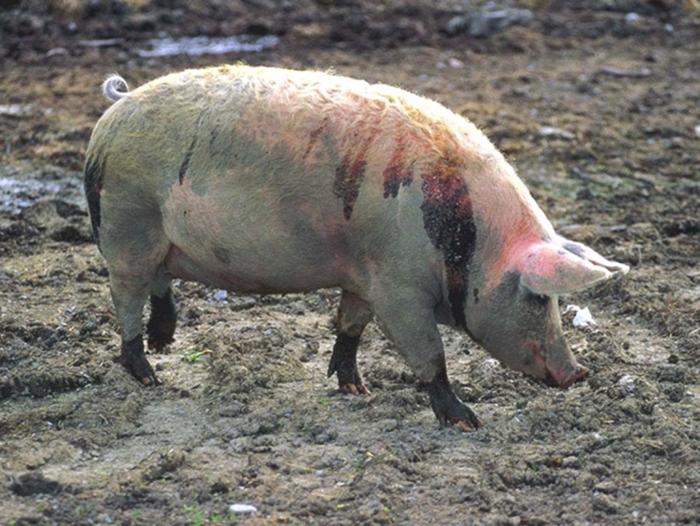 Свиной грипп (инфлюэнца)