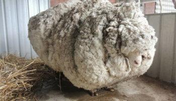 5 лет спустя: как может выглядеть овца, отбившаяся от стада