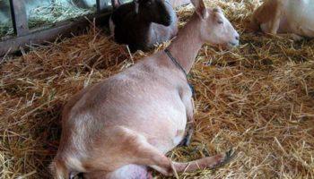 Уход за молочной козой в период беременности