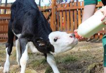 Уход за теленком в первые дни жизни