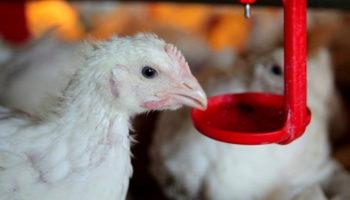 В Новгородской области из отходов птицефабрики будут производить биоудобрения по японским технологиям