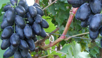 Велика – виноград, который нужно посадить
