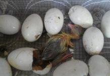 Выведение гусей в инкубаторе