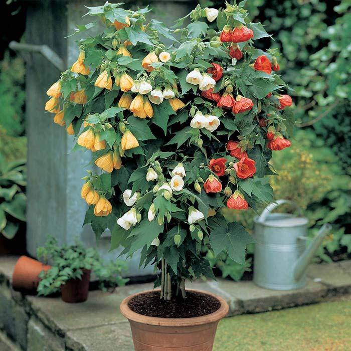 Домашнее растение с кленовыми листьями