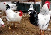 Адлерская порода кур