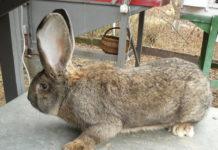 Бельгийская порода кроликов
