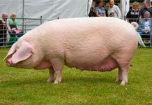 Брейтовская порода свиней