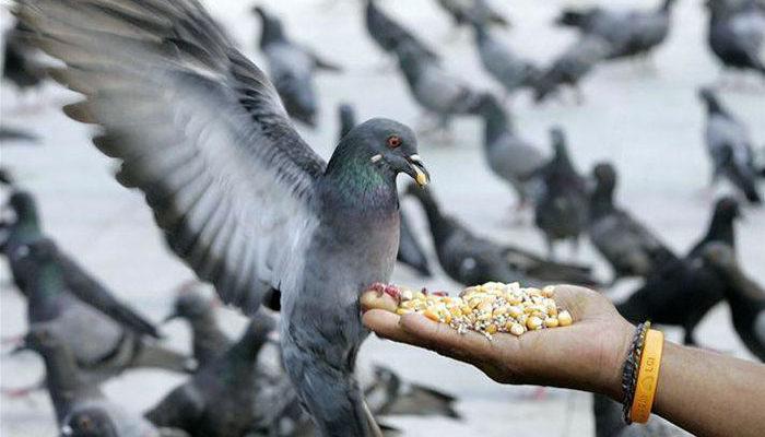 Чем кормить голубя