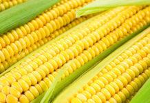 Еще не поздно посадить кукурузу Бондюэль